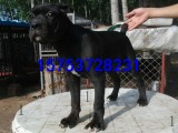 卡斯罗犬多少钱一只,哪里出售血统卡斯罗幼犬,成年卡斯罗价格