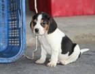 潍坊比格多少钱一只 潍坊纯种比格猎犬价格 潍坊比格怎么卖