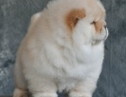 胖乎乎的松狮多少钱一只 浙江哪里有卖松狮的