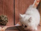 傲娇萌猫纯种金吉拉美短渐层蓝白折耳宠物猫活体幼体