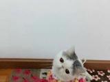 纯种CFA加菲猫宝宝,银渐层短毛猫