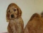 专业直销精品纯种可卡幼犬——特价出售——可上门挑选