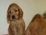 养殖场出售可卡幼犬,健康纯种疫苗驱虫已做