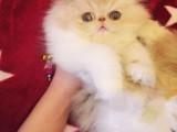 深圳哪里卖波斯猫 波斯猫价格 波斯猫哪里有卖