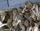 农家养殖刺猬大量出售全国发货