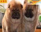 出售纯种大头肉嘴紫舌头松狮犬多种颜色疫苗驱虫做