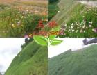 公路边坡花草绿化花海景观种子