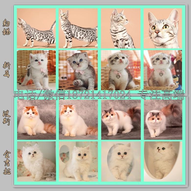 繁育家养纯种 大脸蓝猫 网红加菲 金吉拉 波斯 布偶 包健康