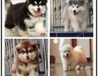 本地犬舍出售纯种阿拉斯加 双血统带证书