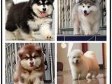 自己家養的雙血統阿拉斯加犬 顏值高 忍痛出售