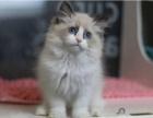 自家貓舍正規繁育的金吉拉寶寶疫苗已做保健康
