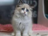 自家猫舍正规繁育的金吉拉宝宝疫苗已做保健康