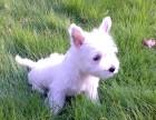 兰州哪有西高地犬卖 兰州西高地犬价格 兰州西高地犬多少钱