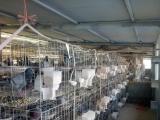 个人养殖的肉鸽有灰王,银王,白羽王