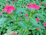 无锡草花批发园林花卉哪批发时令草花长春花一串红四季草花供应