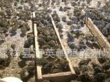 嘉祥供应各种优质鹌鹑苗 鹌鹑苗价格 嘉祥海英养殖场