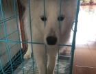 自己家养的银狐犬