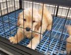 血统金毛幼犬出售