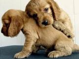 可卡犬哪有卖的/宠物店狗市在哪里
