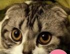 活体蓝猫苏格兰折耳猫保健康售后保证纯种江浙沪可上门