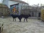 重庆黑狼犬幼犬哪里有卖的重庆黑狼犬价格