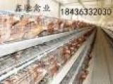 海兰褐青年鸡供应