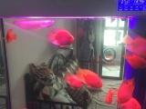 银龙鹦鹉鱼14条家养健康转让