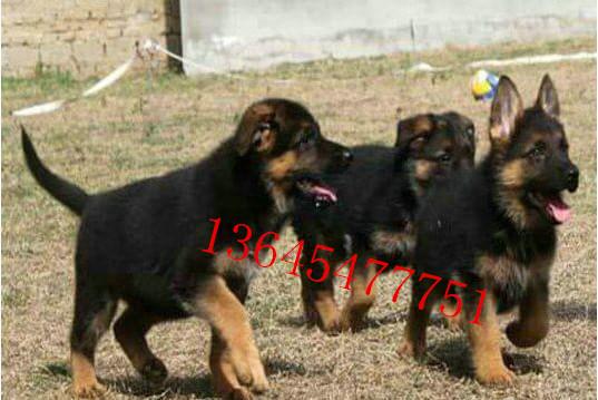 幼犬牧羊犬价格纯种牧羊犬大型养殖场哪里有卖的