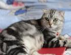 出售蓝白猫英国短毛猫 英短蓝白宠物猫短毛猫幼猫活