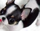极品吉娃娃在这里 保障纯种和健康 十佳犬舍CKU认证