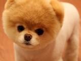 高品質俊介犬純種博寶寶長不大狗狗 保證健康好養超萌