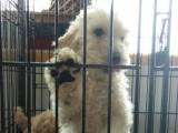 卖巨型贵宾泰迪犬