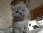 新生第一天 蓝猫宝宝 接受预定赛级蓝猫直子定金一千