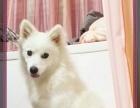 自家狗狗出售:1个月的银狐犬1000元(公母均有)
