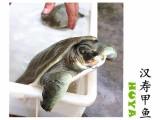 虎-牙生鲜汉寿甲鱼洞庭湖野化广告养湖南中华鳖鲜活有机团鱼