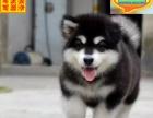 正规犬舍繁殖赛级品质阿拉斯加赠户口包活可刷卡