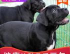 哪里有卡斯罗出售多少钱,卡斯罗犬的照片