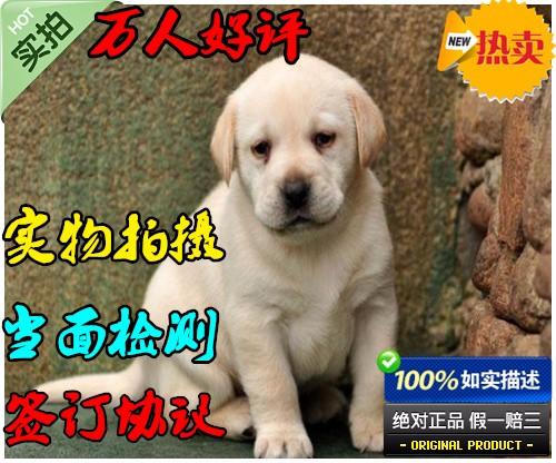老粘人的最爱,拉布拉多犬,好养终身守护主人的拉拉