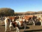 好品种肉牛犊任意挑选免费送牛到家再付款
