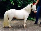 骑乘儿童宠物小矮马多少钱一匹重庆有矮马养殖场吗