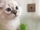 自家繁殖 双色 山猫 手套布偶猫 公母都有两个月
