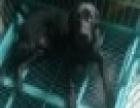 黑色拉布拉多犬
