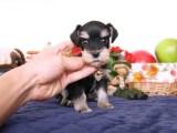 犬舍直销雪纳瑞幼犬 纯种健康能养活 支持视屏对接