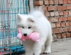 出售高贵优雅微笑天使萨摩耶幼犬 雪白无泪痕