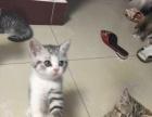 自家繁殖可爱猫咪
