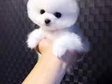 宣城泰迪熊狗狗出售 包健康 包纯种 签订协议