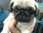 上海本地犬舍繁殖纯种宠物狗,巴哥犬,质保三个月