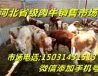 河北肉牛销售市场西门塔尔牛的当天价格