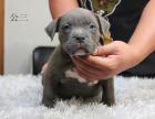中国专业繁殖双血统比特犬犬舍 可以上门挑选