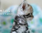 【娜美猫屋】专业繁育纯种美国短毛猫 美短加白五粉